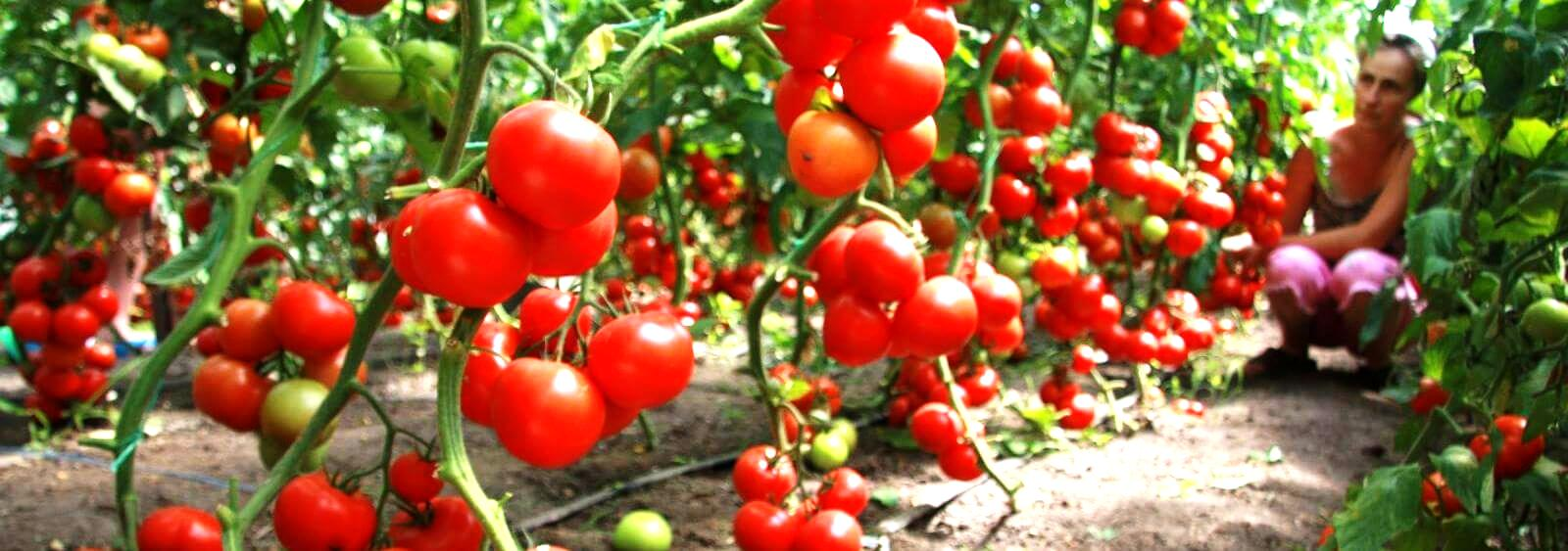 купить удобрение байкал-эм 1 компании Аргодля выращивания томатов  и хорошегоурожая